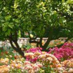 French Riviera – Côte d'Azur / Alpes-Maritimes (06) / Nice / Patrimoine / Monuments historiques / Jardin du monastère – Cimiez – Photo n°16