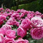 French Riviera – Côte d'Azur / Alpes-Maritimes (06) / Nice / Patrimoine / Monuments historiques / Jardin du monastère – Cimiez – Photo n°26