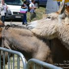 Alpes-Maritimes / Arrière-pays / Festivités / Escragnolles (06460) / Fête aux ânes à Escragnolles – Dimanche 26 juin 2016 – Photo n°12