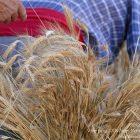 Alpes-Maritimes (06) / Arrière-Pays / Haute Vésubie / Saint-Martin Vésubie / Fête du Pain & des Métiers d'Antan – Battage et ventage du blé – Photo n°26