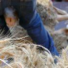 Alpes-Maritimes (06) / Arrière-Pays / Haute Vésubie / Saint-Martin Vésubie / Fête du Pain & des Métiers d'Antan – Tonte de moutons à l'ancienne – Photo n°27