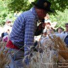 Alpes-Maritimes (06) / Arrière-Pays / Haute Vésubie / Saint-Martin Vésubie / Fête du Pain & des Métiers d'Antan – Tonte de moutons à l'ancienne – Photo n°29