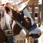 Alpes-Maritimes (06) / Arrière-Pays / Haute Vésubie / Saint-Martin Vésubie / Fête du Pain & des Métiers d'Antan – Traite de la vache – Photo n°44