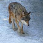 #CotedAzurNow / Alpes-Maritimes (06) / Saint-Martin-Vésubie / Le Boréon / Parc Alpha – Parc animalier – Pensez Boréon ! Vivez Alpha – Photo n°22