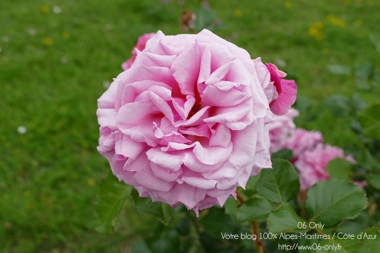 Autour de la rose 2017 festivit s la colle sur loup 06 for Autour de la maison rose