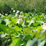 #CotedAzurFrance / Alpes-Maritimes (06) / Mougins / Parcs & Espaces naturels / Etang de Fontmerle – Les Lotus de L'étang de Fontmerle ! – Photo n°10