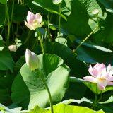 #CotedAzurFrance / Alpes-Maritimes (06) / Mougins / Parcs & Espaces naturels / Les Lotus de L'étang de Fontmerle ! – Photo n°17
