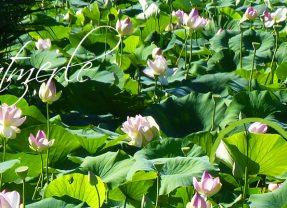 Etang de Fontmerle – Les Lotus sacrés – Mougins