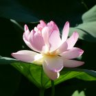 #CotedAzurFrance / Alpes-Maritimes (06) / Mougins / Parcs & Espaces naturels / Etang de Fontmerle – Les Lotus de L'étang de Fontmerle ! – Photo n°3