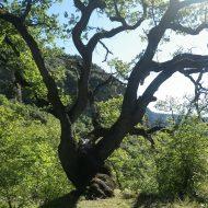 Le chêne – Revest-les-Roches – 06830