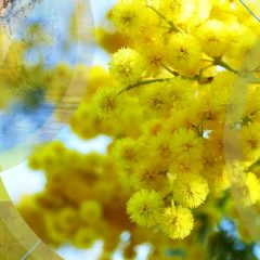 Massif du Tanneron – Pays du Mimosa