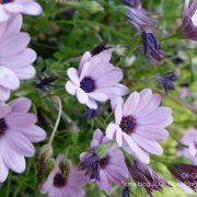 #CotedAzurFrance / Alpes-Maritimes (06) / Nice / Parcs & Jardins / Jardin Botanique de la Ville de Nice – Corniche Fleurie – Botanical Garden of Nice – Photo n°3