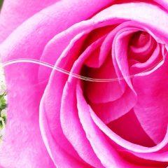 Autour de la Rose – La Colle-sur-Loup