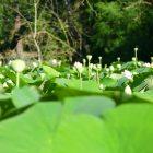 #CotedAzurFrance / Alpes-Maritimes (06) / Mougins / Parcs & Espaces naturels / Etang de Fontmerle – Les Lotus de L'étang de Fontmerle ! – Photo n°7