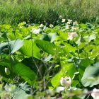 #CotedAzurFrance / Alpes-Maritimes (06) / Mougins / Parcs & Espaces naturels / Etang de Fontmerle – Les Lotus de L'étang de Fontmerle ! – Photo n°9